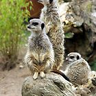 meerkat by John Butterfield