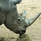 Rhino or rhinocerous  by John Butterfield