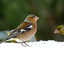 There Are Meagre Pickings Today! - Chaffinch - NZ by AndreaEL