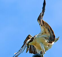 Osprey has landed by Rodney55