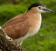 Nankeen Night Heron by Sandra Chung