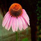 Cone Flower © by Dawn M. Becker