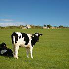 Young calves in field by John Butterfield