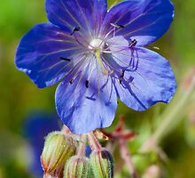 Meadow Cranesbill by M.S. Photography/Art