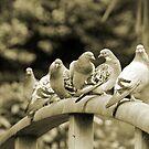 Pigeon parade   by Graeme Simpson