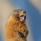 Marmot Portrait 2 by kurtbowmanphoto