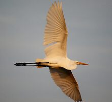 Egret Wing Span by Paulette1021