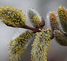 Blooming Willows by Kathi Arnell