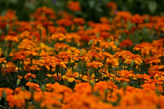 Sea of Marigolds by autumnwind