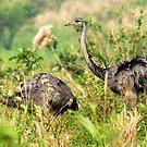 Greater Rheas (Rhea americana) - Bolivia by Jason Weigner