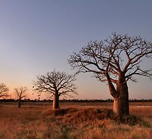 Boab Trees at Dusk by Mark Ingram Photography