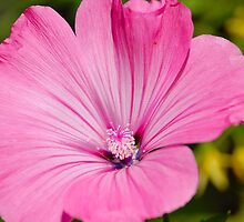 Hollyhock - Mallow by vbk70