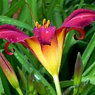 A Pretty Lily!!! © by Dawn M. Becker