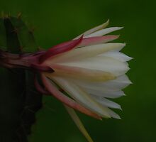 My mother cactus in bloom by Antanas