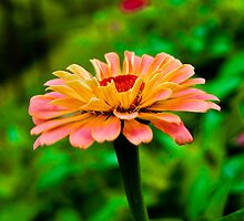 Flowers Within A Flower - Zinnia by Neha  Gupta