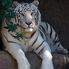 White Tiger,New Orleans Zoo by ldermid75