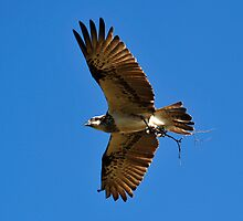 Osprey - Gathering Building Material for the nest. by Alwyn Simple