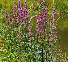 Lythrum salicaria......Purple LooseStrife  by AnnDixon