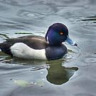 Tufted Duck by Jamie  Green