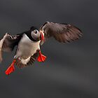 Puffin in flight by Remo Savisaar