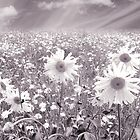 Daisy Field by clare barton
