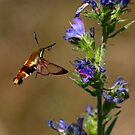 Hummingbird Moth by Jim Cumming
