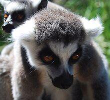 Lemur Walk by Jessica Perry