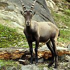 Alpine Ibex by vette