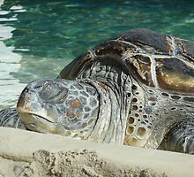 Napping Turtle  by CJKustoms