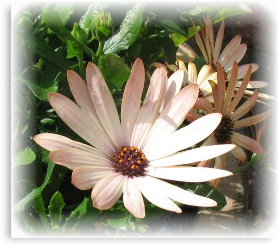 Daisy, Daisy - Rectangular Vignette by BlueMoonRose