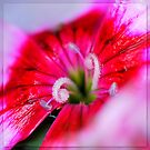 Dianthus carzophyllus close-up by ©The Creative  Minds