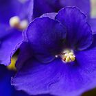 Donna's Violets by PhotoKismet
