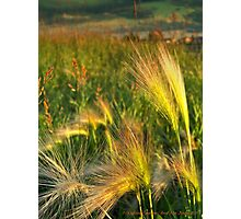 Foxtails Photographic Print