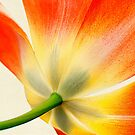 Orange Tulip by Beth Mason