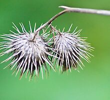 Exhausted Thistles by Melissa Dickson