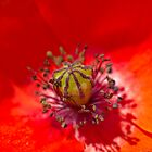 Poppies are Yellow - the seedhead of a poppy. by Geoimages