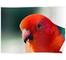 Australian King Parrot (male) Poster