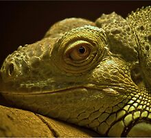 Lizard by cameraimagery