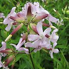 Saponaria officinalis by orko