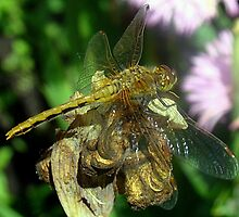 Dragonfly PitStop! by PatChristensen