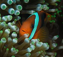 Tomato Clownfish and Anemone by Todd Krebs