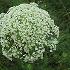 Daucus carota by orko