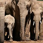 Family - Elephants of Addo Elephant Park by Nicole Shea