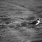 Seagull by Jennifer Suttle