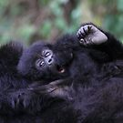 Baby Mountain Gorilla, Kwitonda Group, Rwanda, East Africa by Carole-Anne