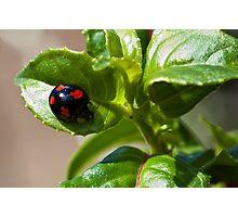 Harlequin ladybird Photographic Print