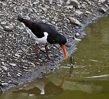 Oystercatcher eating fresh water muscle by theriverrat