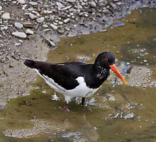Oystercatcher by theriverrat