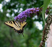 Eastern Tiger Swallowtail (Papilio glaucus) 2 by plunder