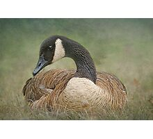 Canada's Canada Geese Photographic Print